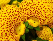 Calceolaria herbeohybrida - Monedero, zapatitos de venus