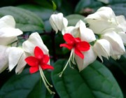 Clerodendrum thomsoniae - Bandera, clerodendro