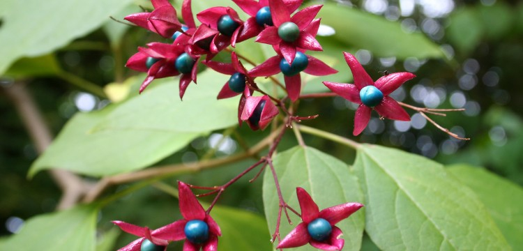Clerodendrum trichotomum - Árbol del destino, clerodendrum, clerodendro