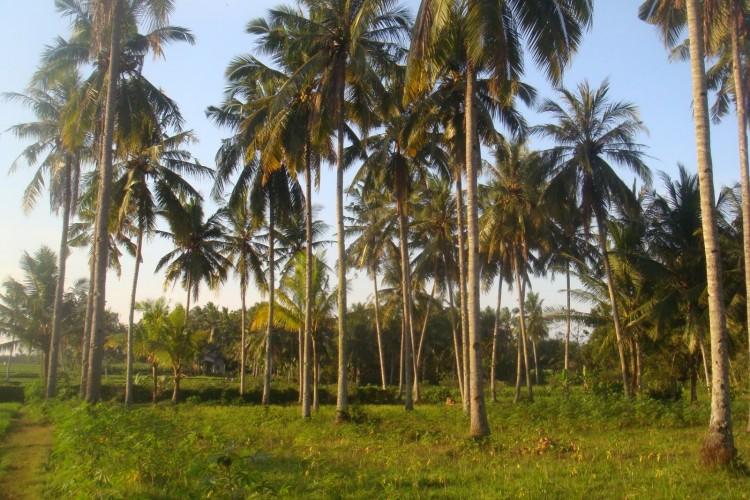 Cocos nucifera - Cocotero, coco, palma cocotera, palmera de coco