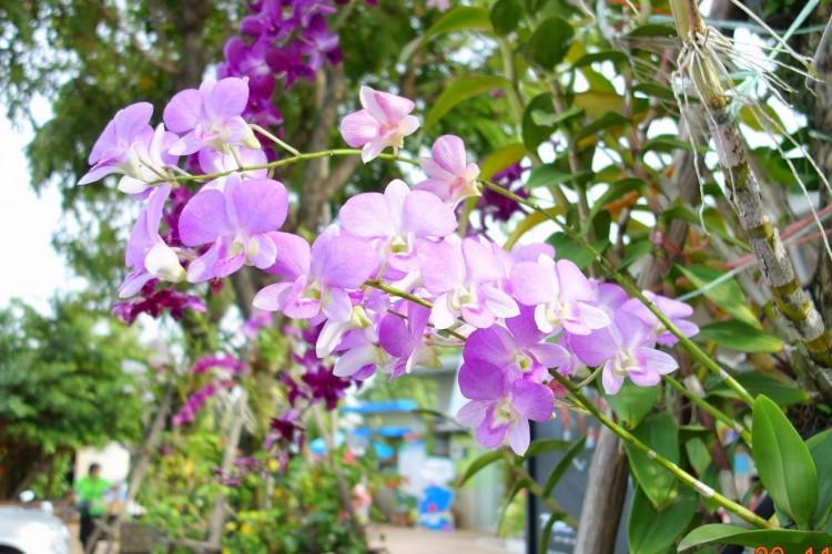 Dendrobium spp. - Dendrobium