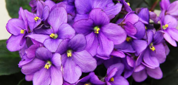 La popular violeta africana y otras plantas relacionadas -