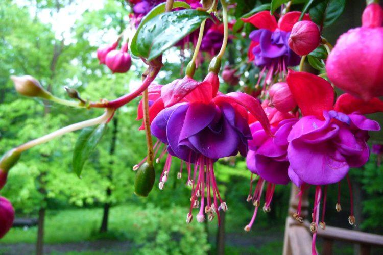 Fuchsia x hibrida - Fucsia, Fuchsia, Aretillo, Pendientes de la reina