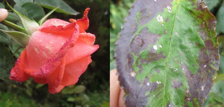 Plagas y enfermedades de los rosales -
