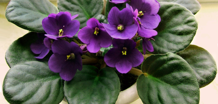 Cultivo y cuidados de la violeta africana -