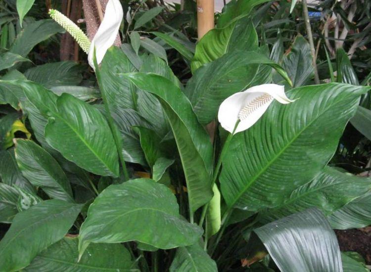 Espatifilo o Cuna de Moisés (Spathiphyllum wallisii)