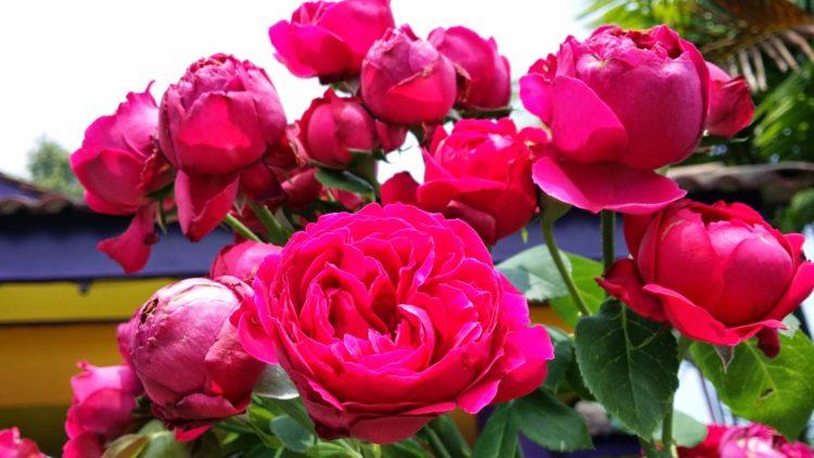 Rosa Edén Rojo