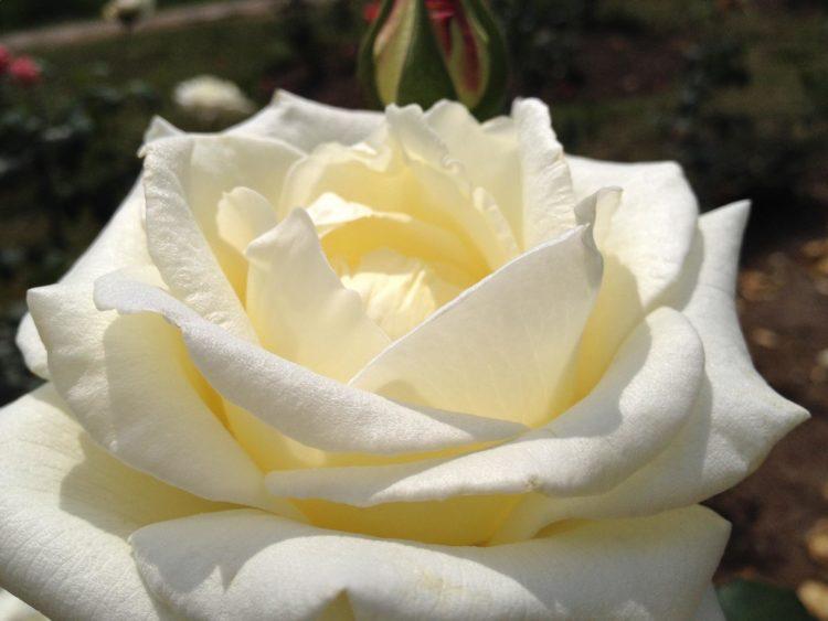 Rosa Luna de Azúcar