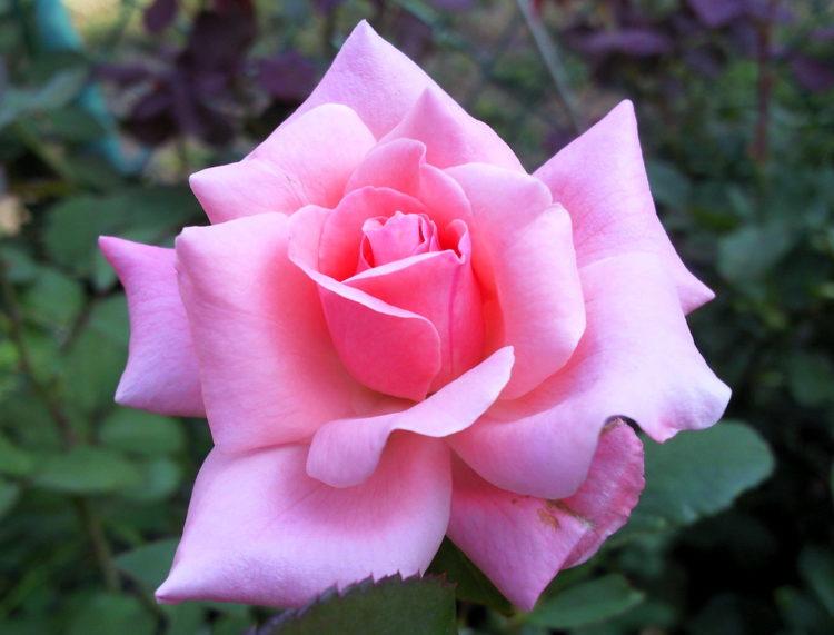 Rosa Reina Isabel
