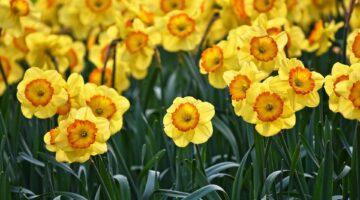 como-cuidar-los-narcisos-y-sus-flores