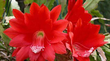 cactus orquídea o planta pluma de Santa Teresa
