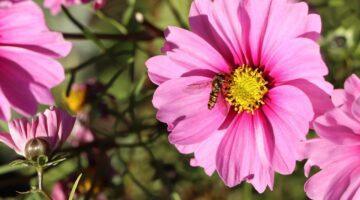 flor del cosmos significado flor de cosmos corea flor cosmos propiedades cosmos flor cuidados cosmos flor animal crossing cosmos bipinnatus cosmos flor semillas cosmos flores fotos