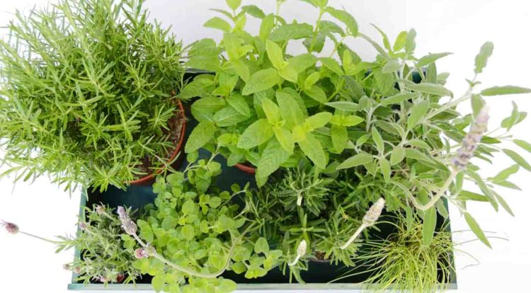 Plantas para tu jardín de hierbas aromáticas