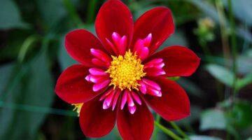 tipos de flores rojas