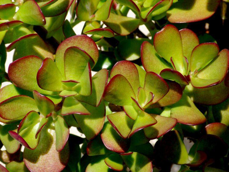 Crassula ovata arbol de jade riego